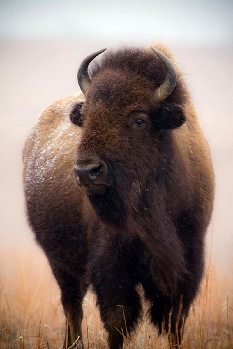 Buffalo-wallpaper-wpc9003231