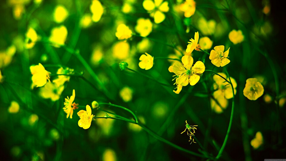 Buttercup-wallpaper-wp3803520