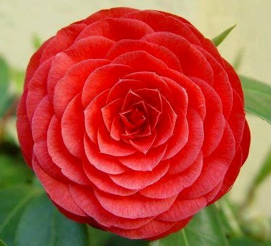 Camellia-meaning-in-the-language-of-flowers-CAMELLIA-Admiration-Perfection-Good-Luck-Gift-to-a-wallpaper-wpc5803161
