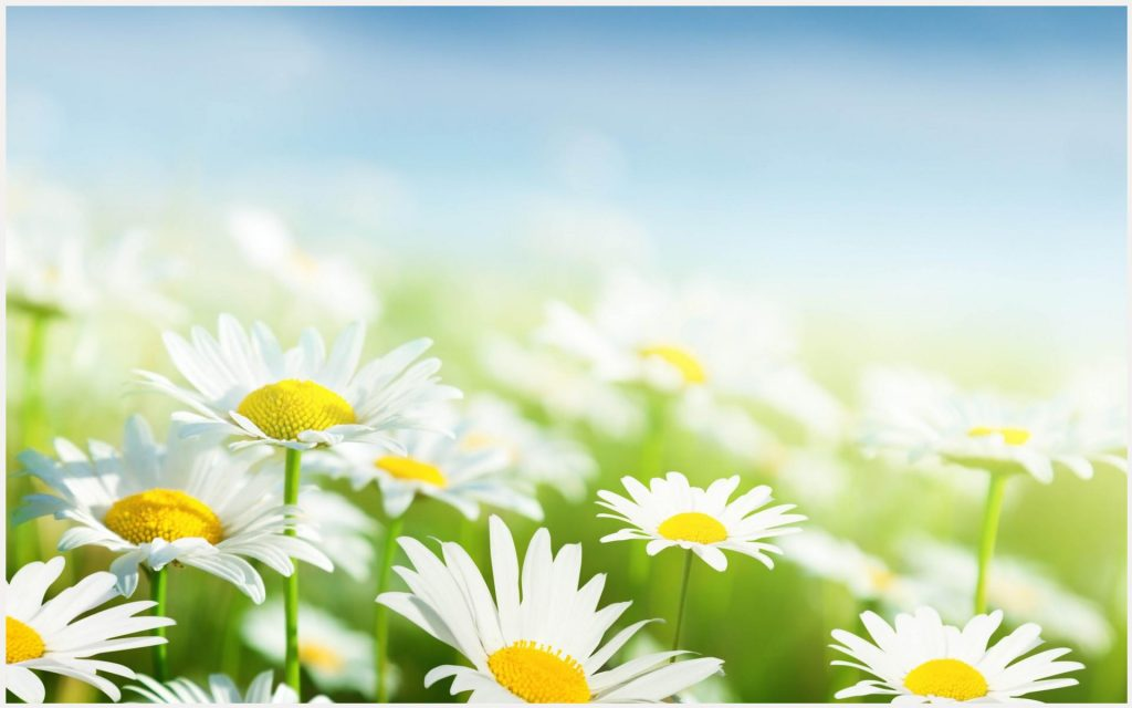 Camomile-White-Flowers-Blur-Background-camomile-white-flowers-blur-background-desktop-c-wallpaper-wpc5803171