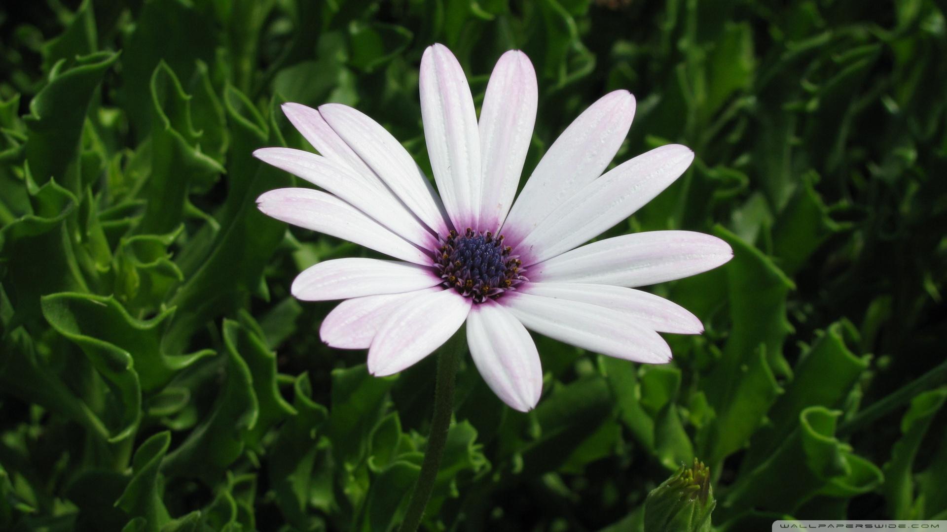 Cape-Daisy-Flower-1920x1080-Cape-Daisy-Flower-wallpaper-wpc5803216