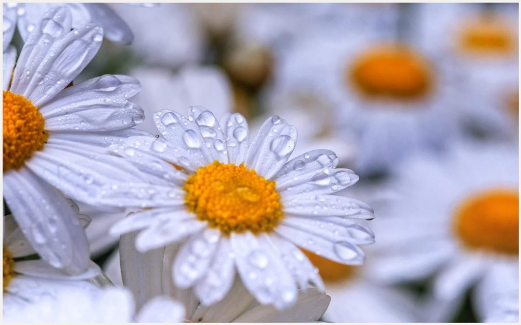 Chamomile-Flowers-Dew-Drops-chamomile-flowers-dew-drops-1080p-chamomile-flowe-wallpaper-wpc5803347