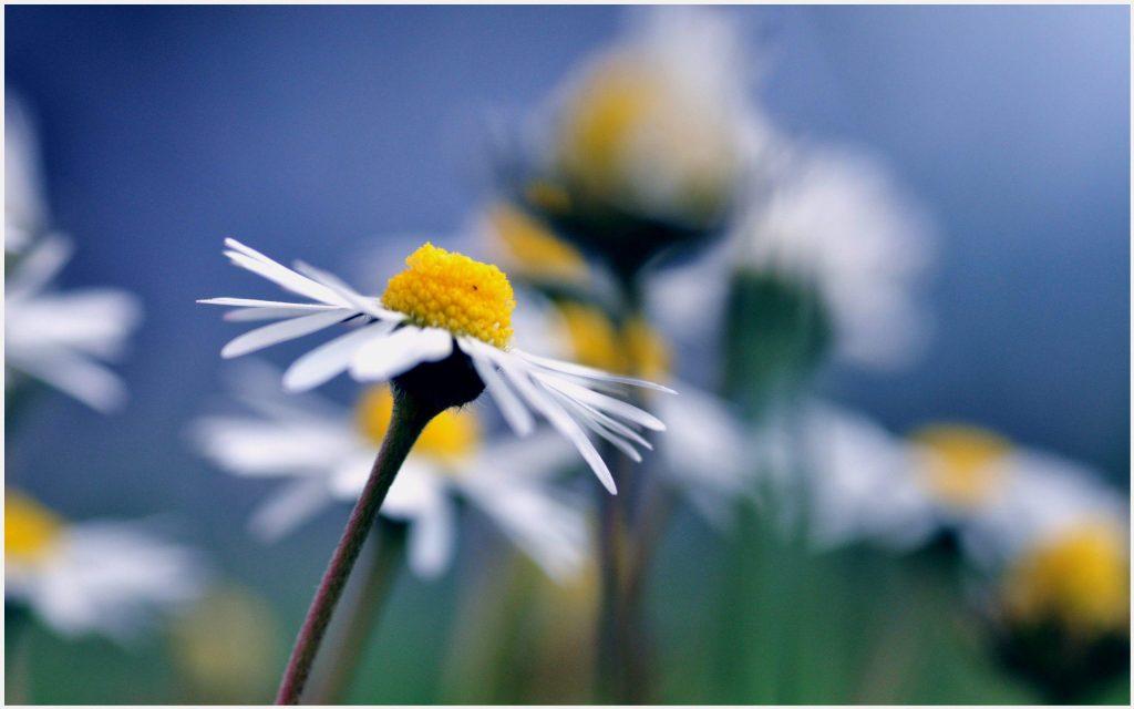 Chamomile-Flowers-chamomile-flowers-1080p-chamomile-flowers-desktop-wallpaper-wpc5803349