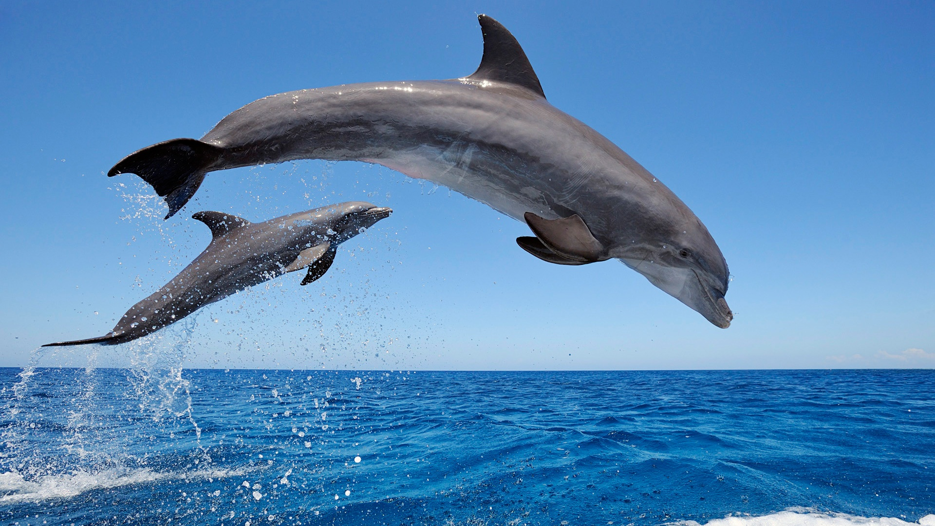 Common-Bottlenose-Dolphins-1920x1080-Need-iPhone-S-Plus-Background-for-IPhoneSP-wallpaper-wpc5803606