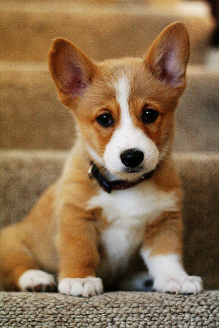 Corgi-puppies-are-so-adorable-that-little-face-could-steal-some-hearts-wallpaper-wp3804072
