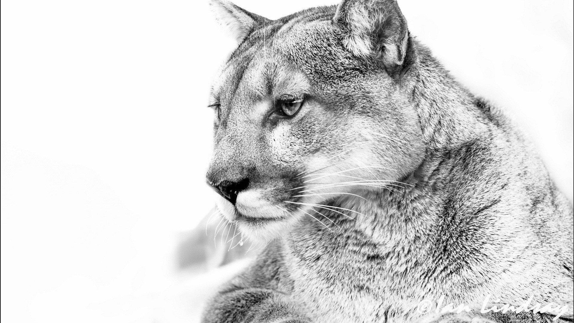 Cougar-Cougar-Cougar-Awesome-Photos-wallpaper-wpc5803744