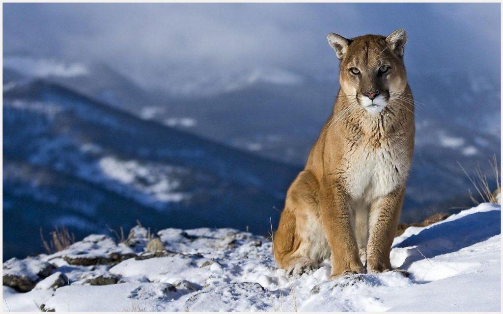 Cougar-Mountain-Lion-cougar-mountain-lion-1080p-cougar-mountain-lion-wallpape-wallpaper-wpc9003838