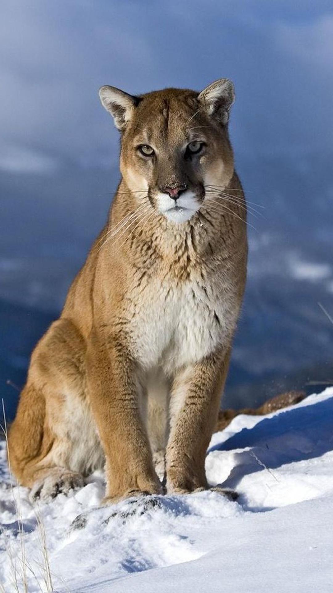 Cougar-Mountain-Lion-wallpaper-wpc5803743
