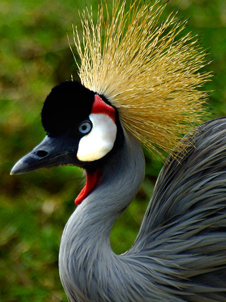 Crested-Crane-Uganda-BelAfrique-your-personal-travel-planner-www-BelAfrique-com-wallpaper-wpc9203900