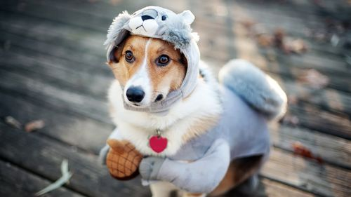 Cute-Dog-Costume-High-Quality-Images-1080p-HD-Pictures-Tablet-Mobile-PC-wallpaper-wp3804232