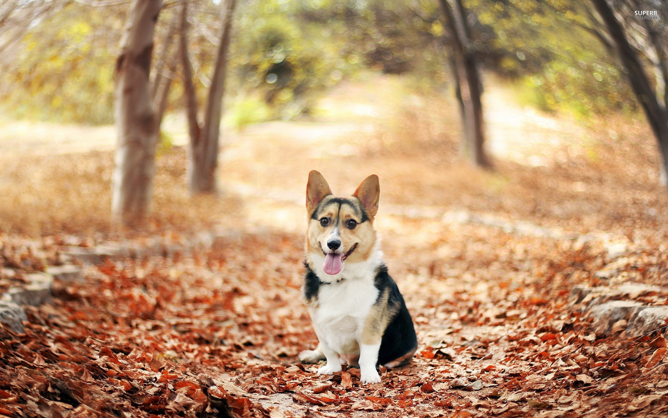 Cute-Welsh-Corgi-Puppy-Images-ihb-x-px-KB-Animal-x-1920x1080-bla-wallpaper-wp3804273