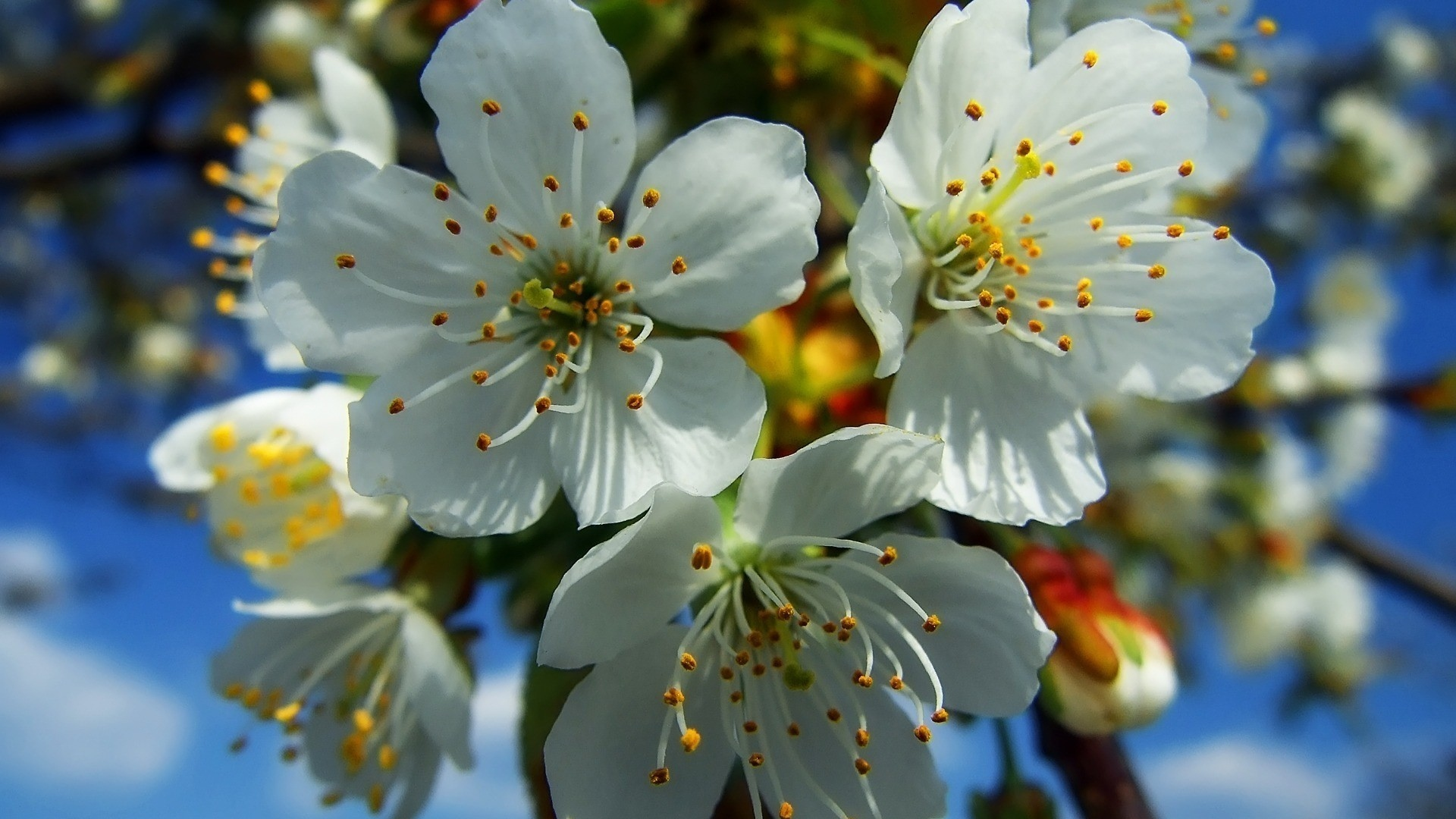 Download-1920x1080-Flowers-Fruit-White-Blue-Yellow-wallpaper-wpc9004465