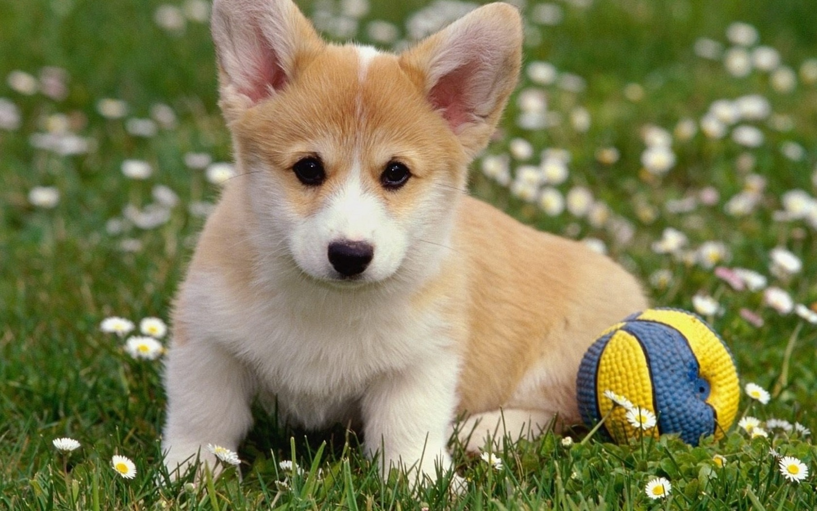 Download-Dog-Wool-Welsh-Corgi-Pembroke-Corgi-Grass-section-Resolution-1920x-wallpaper-wp3804813