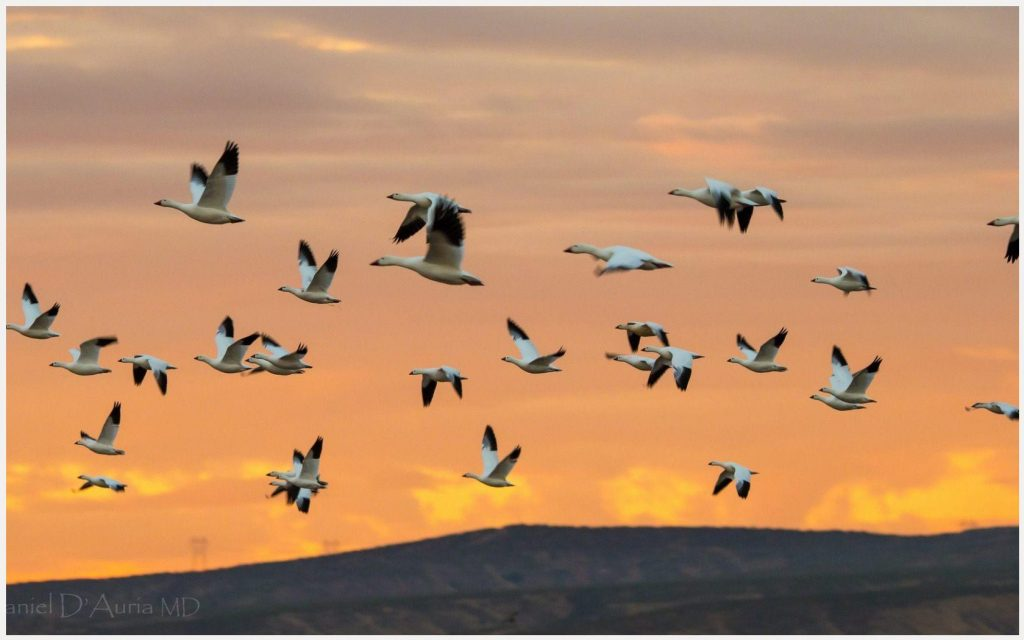 Flock-Of-Birds-Flying-flock-of-birds-flying-1080p-flock-of-birds-flying-wallp-wallpaper-wpc5804847