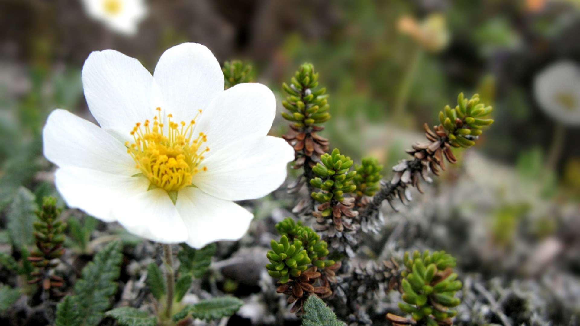 Flower-Green-Nature-White-Hd-Widescreen-Flowers-Flower-Green-Nature-White-Hd-W-wallpaper-wpc5804867