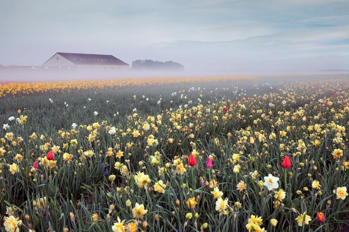 Flowers-Field-Netherlands-Netherland-Tulips-Rainbow-Best-Fields-Flowers-Field-Netherlan-wallpaper-wp3605663