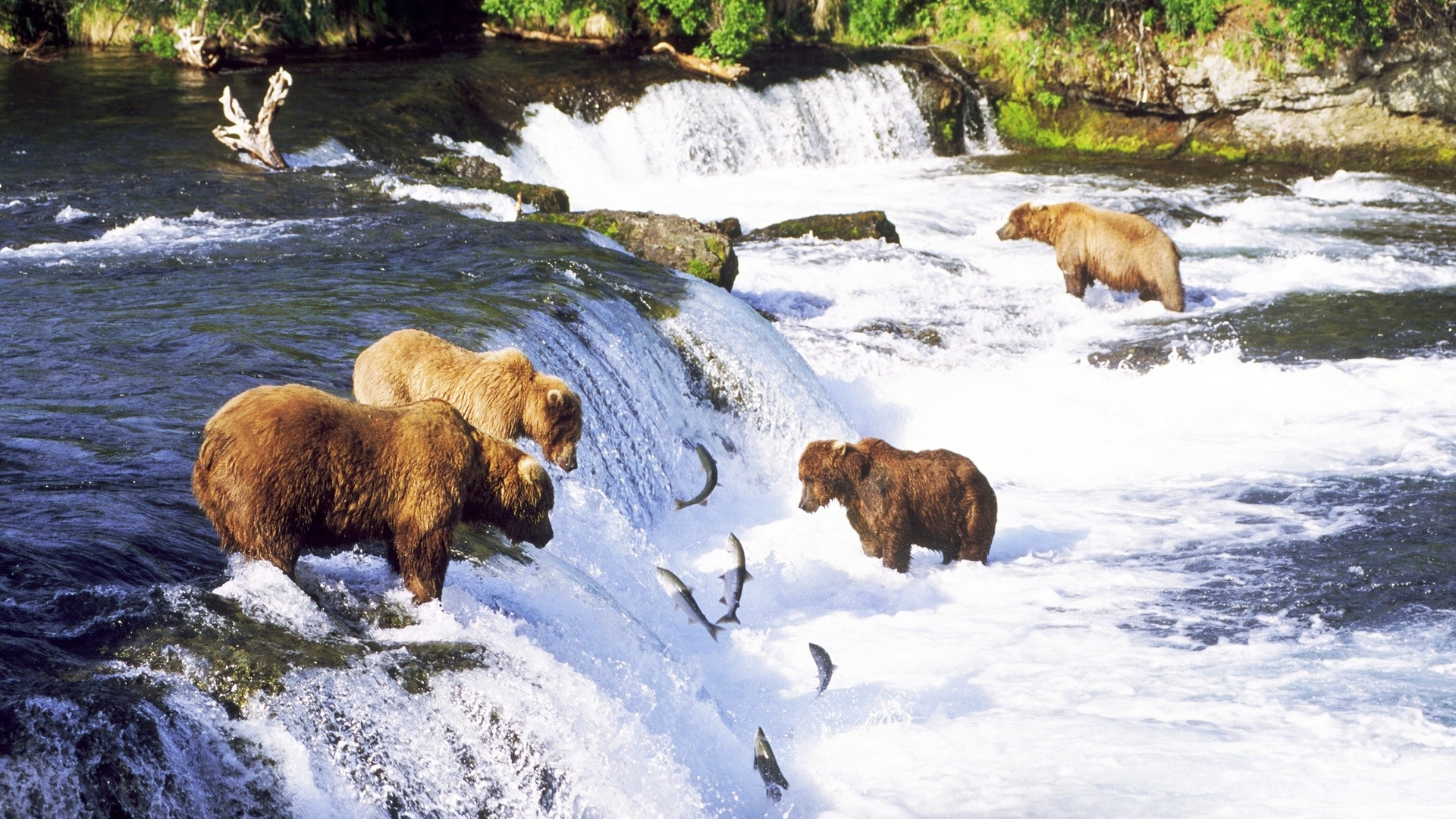 Grizzly-bears-alaska-fishes-salmon-rivers-nature-1920x1080-UP-wallpaper-wpc5805604