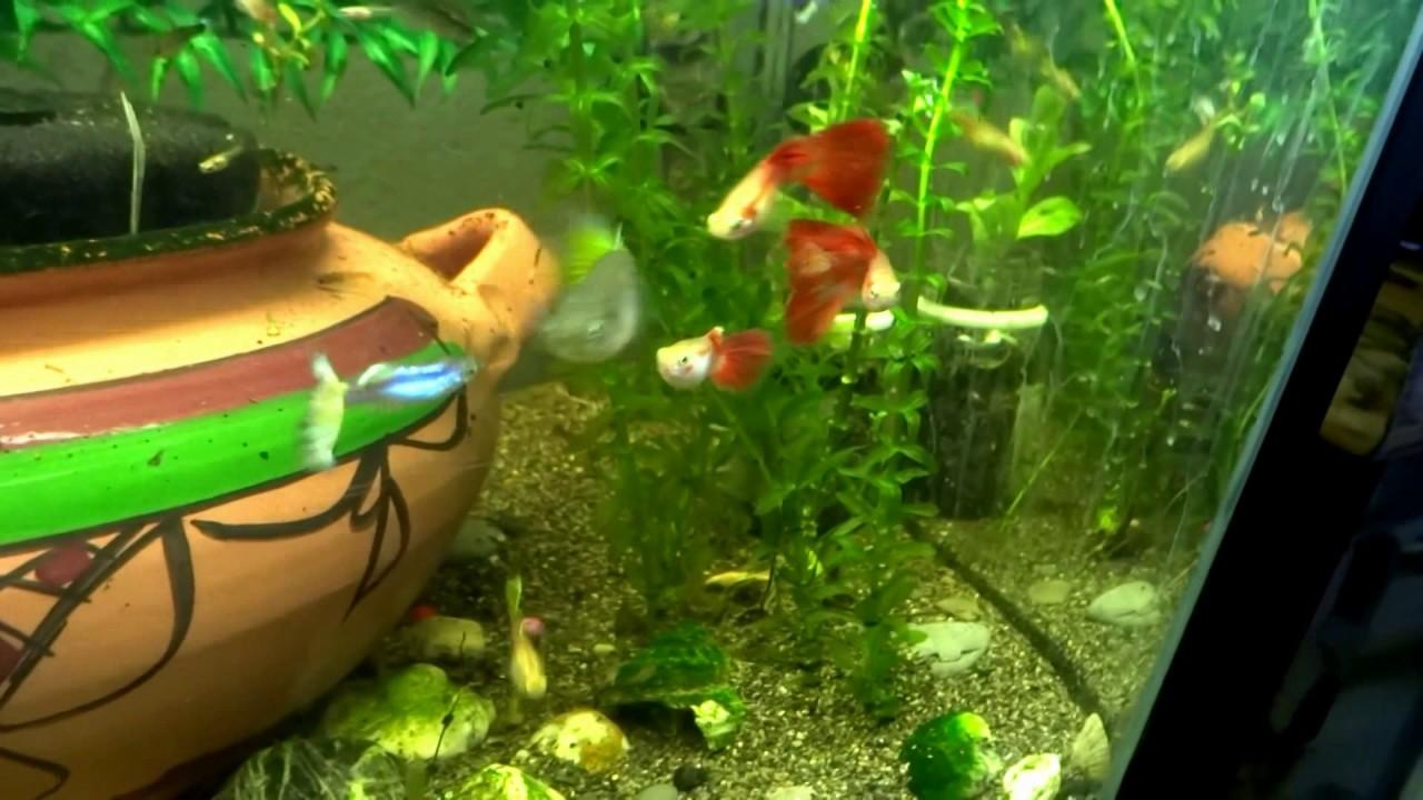 Guppies-Fish-Matingfish-tank-hd-fish-tank-hd-Fish-FishTank-TropicalFish-wallpaper-wpc5805637