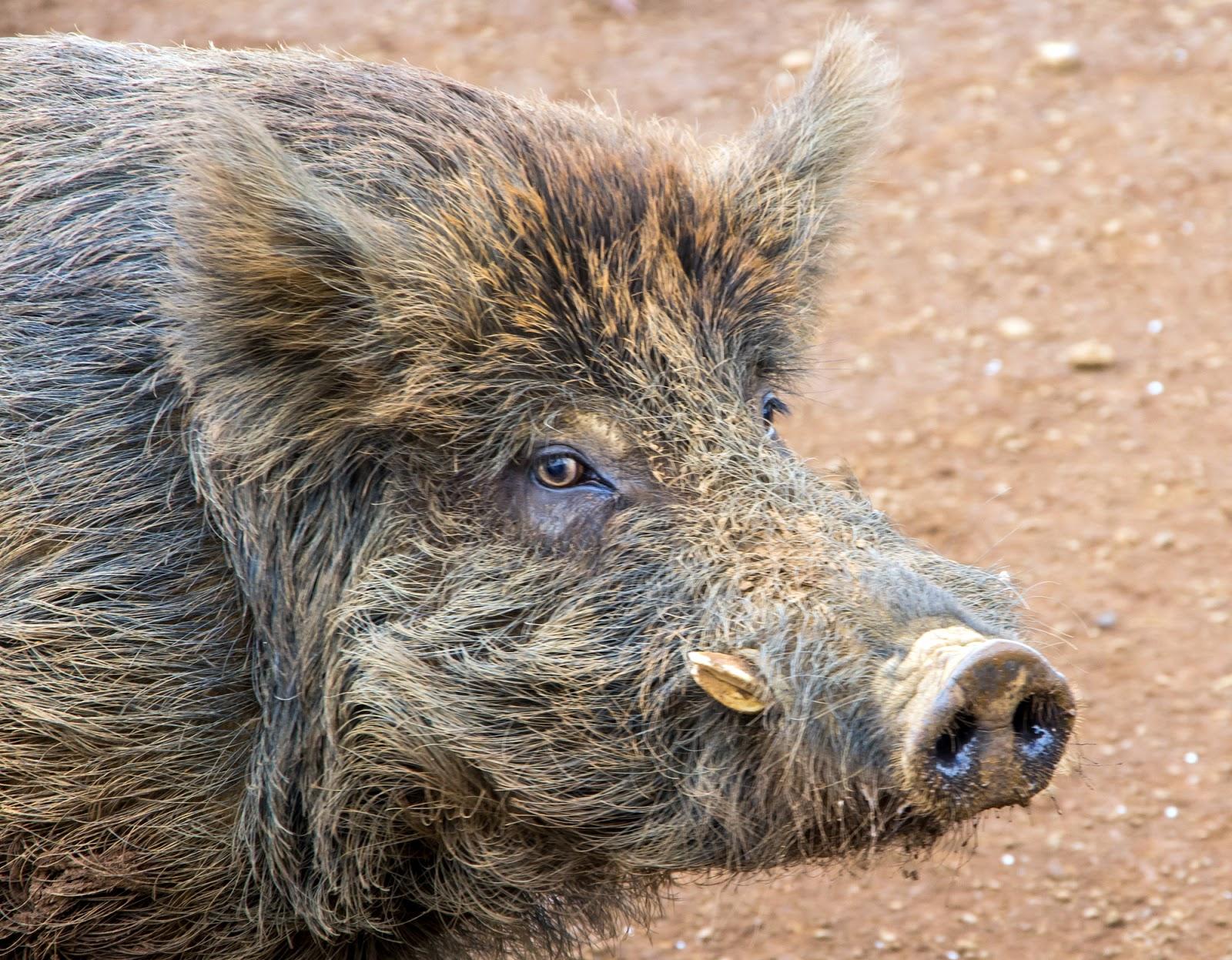 Hawaiian-wild-pig-wallpaper-wpc9005854