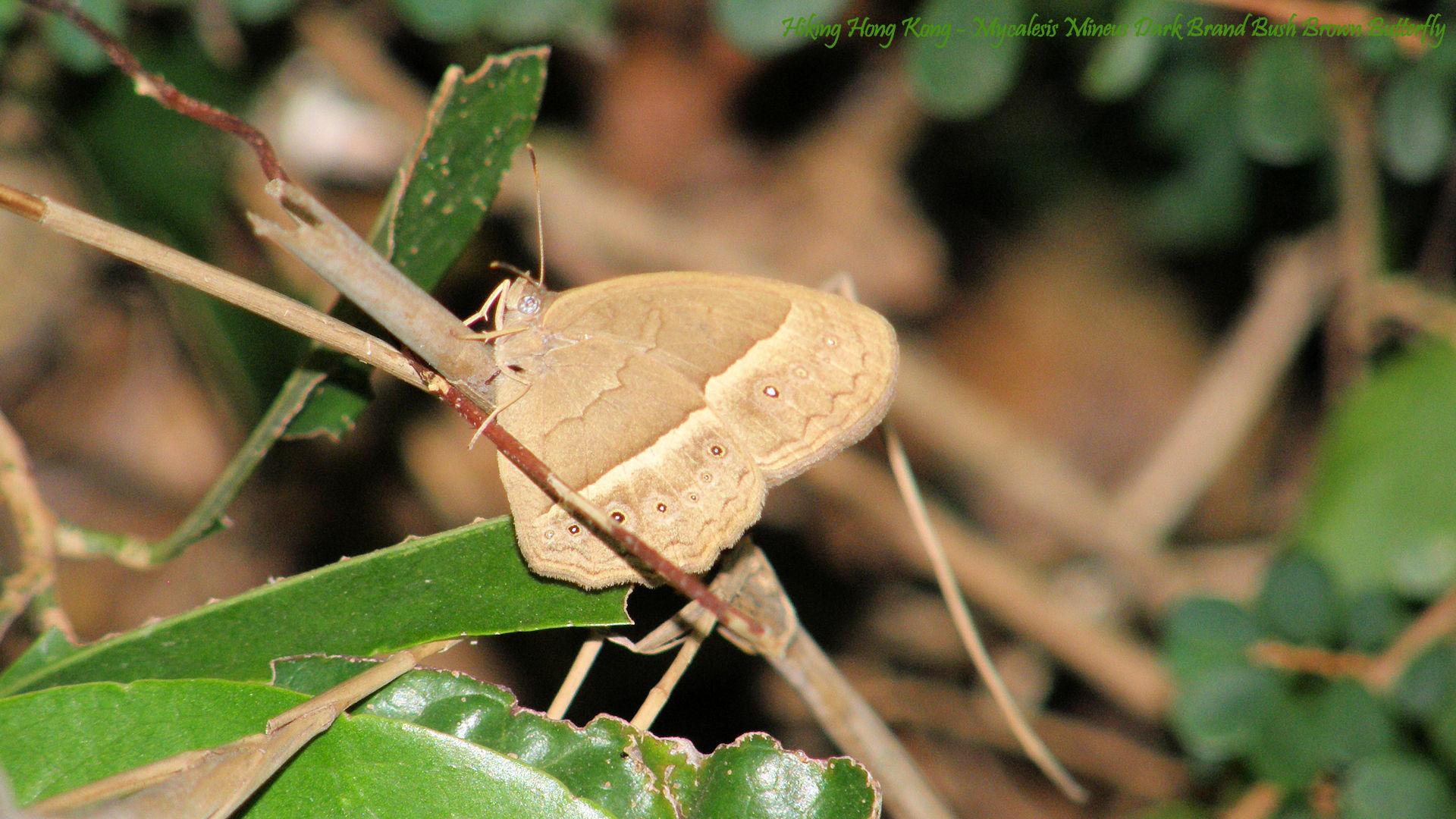 Hong-Kong-Butterfly-Mycalesis-Mineus-Dark-Brand-Bush-Brown-Butterfly-Hiking-Hong-Kong-wallpaper-wpc5805980