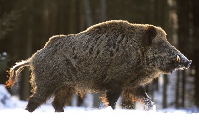 If-the-Wild-Boar-is-your-spirit-animal-then-it-means-that-you-can-tackle-anything-that-life-throws-a-wallpaper-wpc9006406