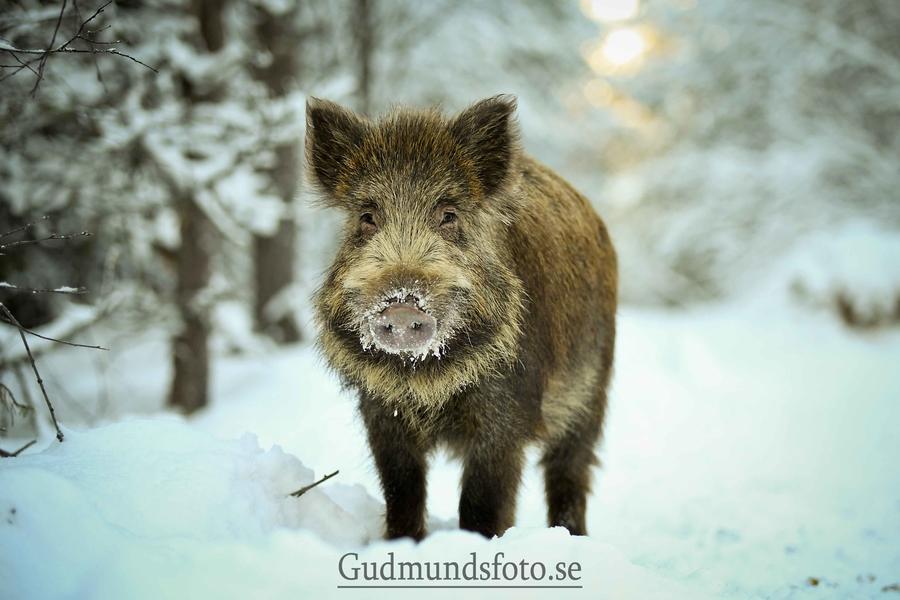Little-wild-boar-by-Joakim-Gudmunds-via-px-wallpaper-wpc9007202