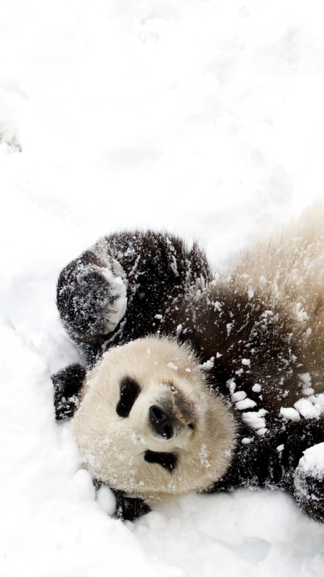 Panda-in-the-snow-%D5%95%D5%95-KO-Livin-large-Pampered-and-coddled-due-to-rarity-an-wallpaper-wpc9008327