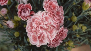 Preview-carnations-flowers-pink-1920x1080-wallpaper-wp3609695