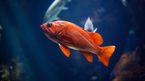 Preview-fish-underwater-world-red-1920x1080-wallpaper-wp3809430