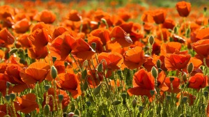 Preview-poppies-field-summer-sharpness-1920x1080-wallpaper-wpc9008655