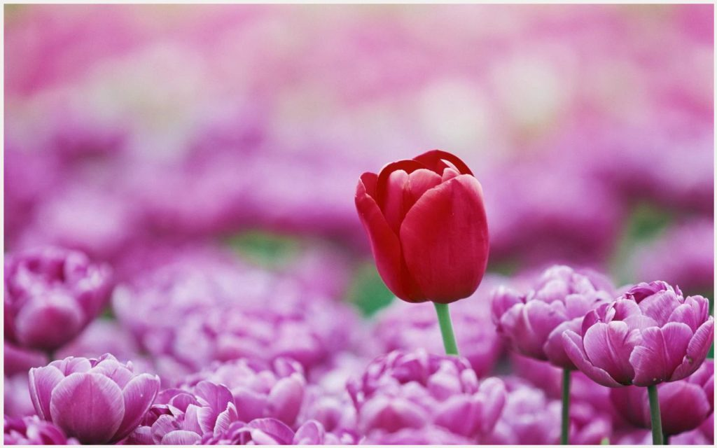 Red-Tulip-Cool-Flowers-red-tulip-cool-flowers-1080p-red-tulip-cool-flowers-wa-wallpaper-wpc9008799