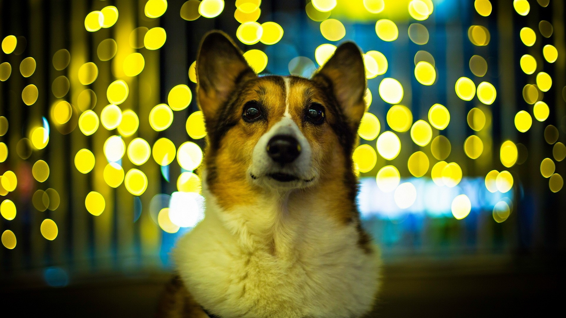 Welsh-Corgi-1920x1080-wallpaper-wp38011952