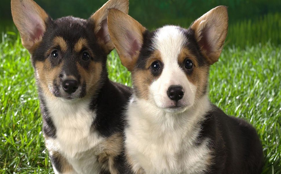 Welsh-corgi-puppies-HD-wallpaper-wp38011953