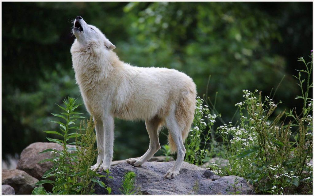 White-Wolf-black-and-white-wolf-download-white-wolf-white-wolf-li-wallpaper-wp36012348