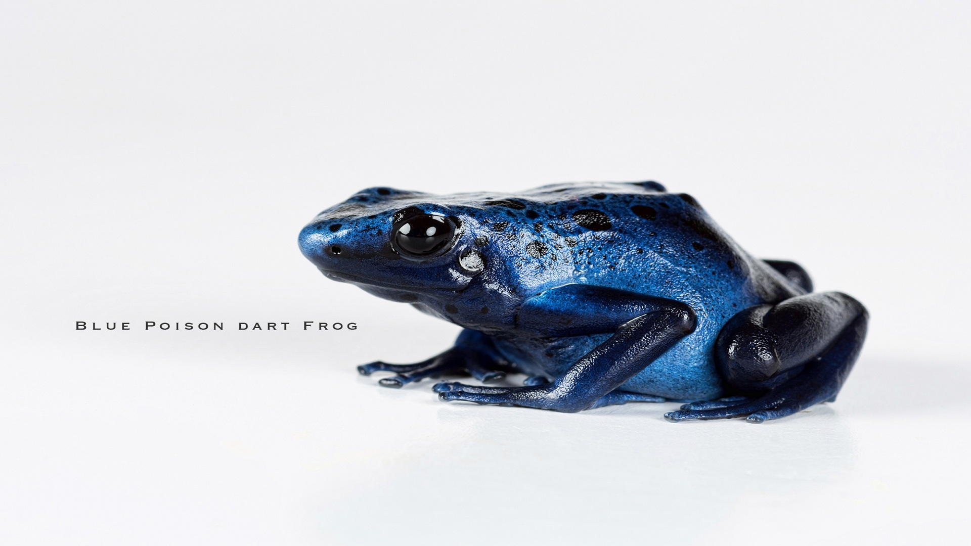 Wow-Blue-poison-Dart-Frog-1920-x-1080-Need-iPhone-S-Plus-Background-for-I-wallpaper-wpc58010454