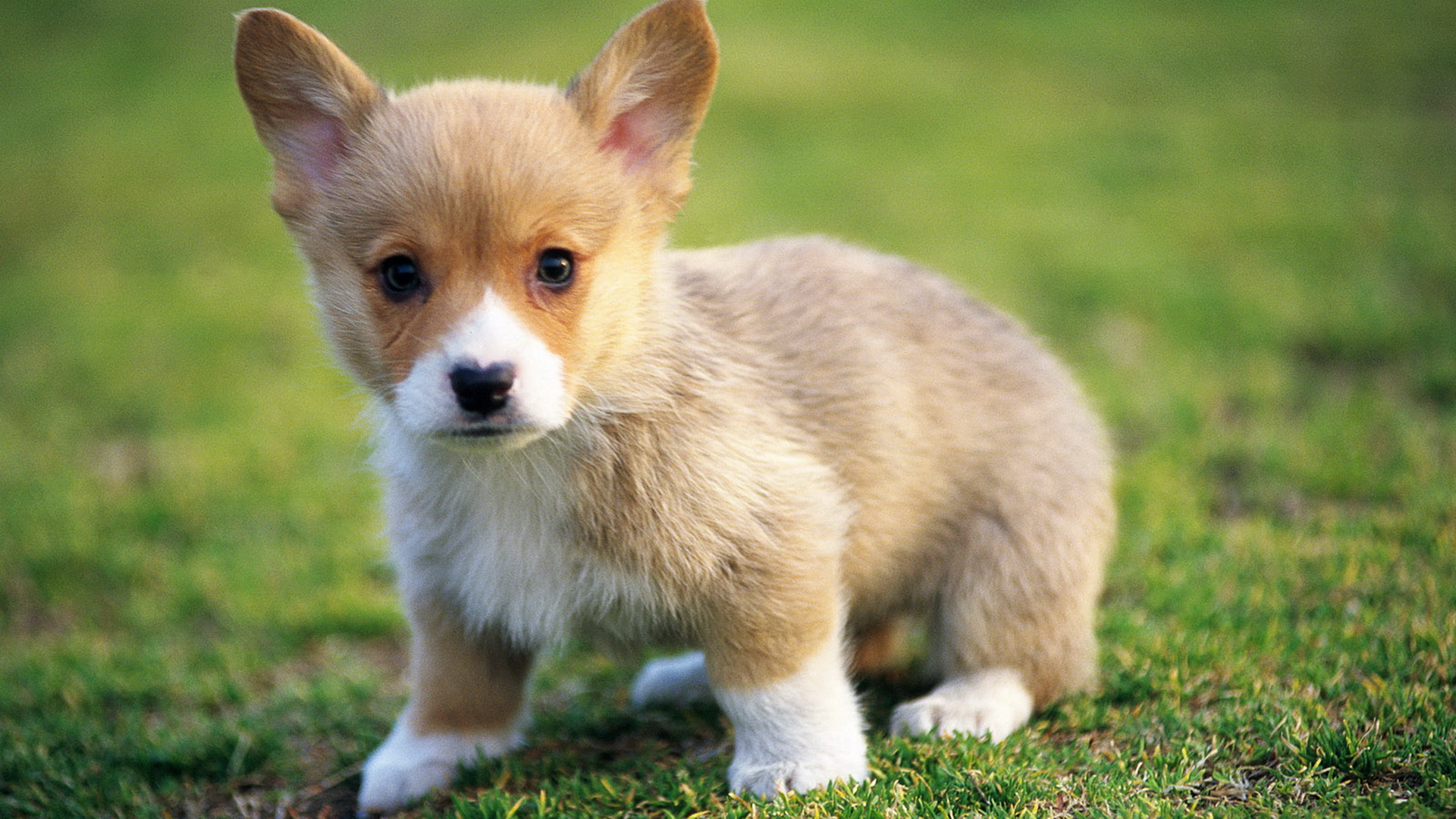 adorable-corgi-1920x1080-wallpaper-wp3802214