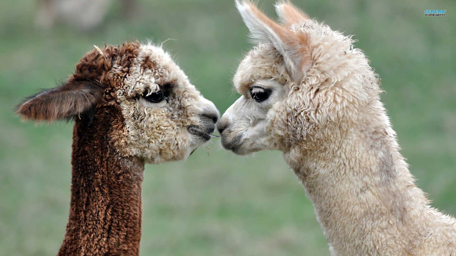 alpacas-1920%C3%971080-Seriously-Mum-Whats-an-Alpaca-wallpaper-wp3602375