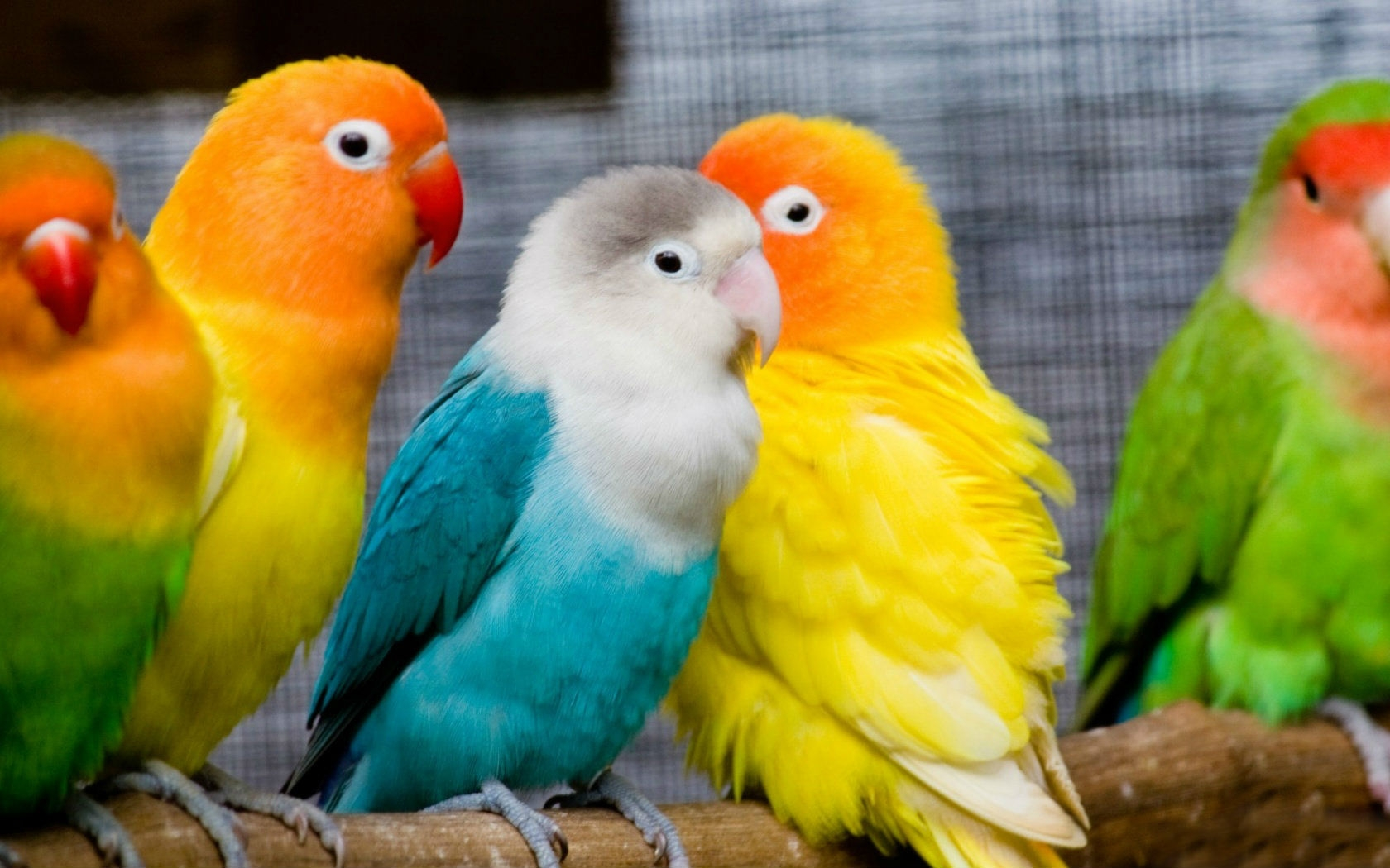 and-names-of-love-birds-HD-Download-Download-and-names-of-love-birds-HD-Dow-wallpaper-wp38011686