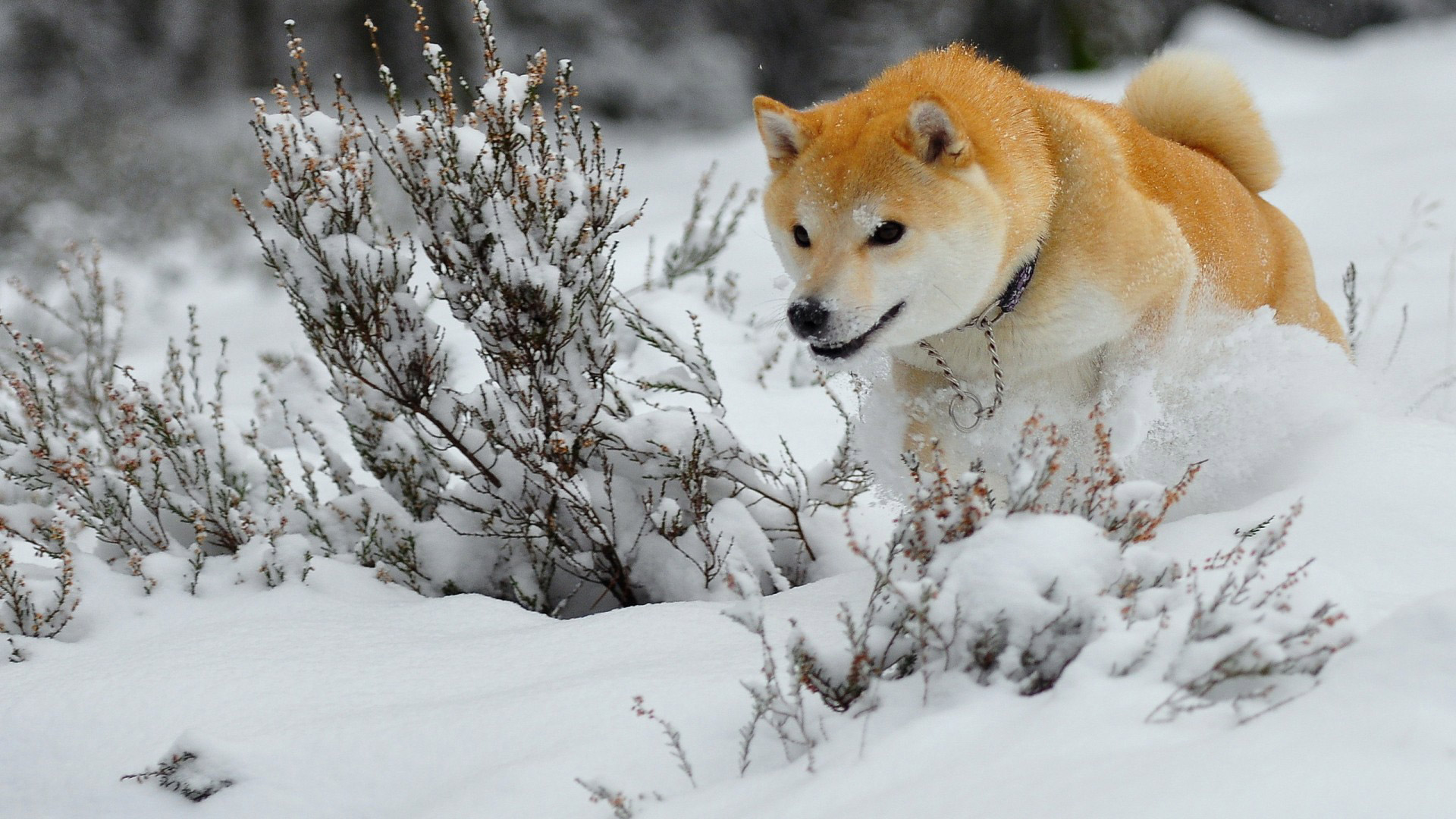 beautiful-dog-running-in-the-snow-wallpaper-wpc9002692