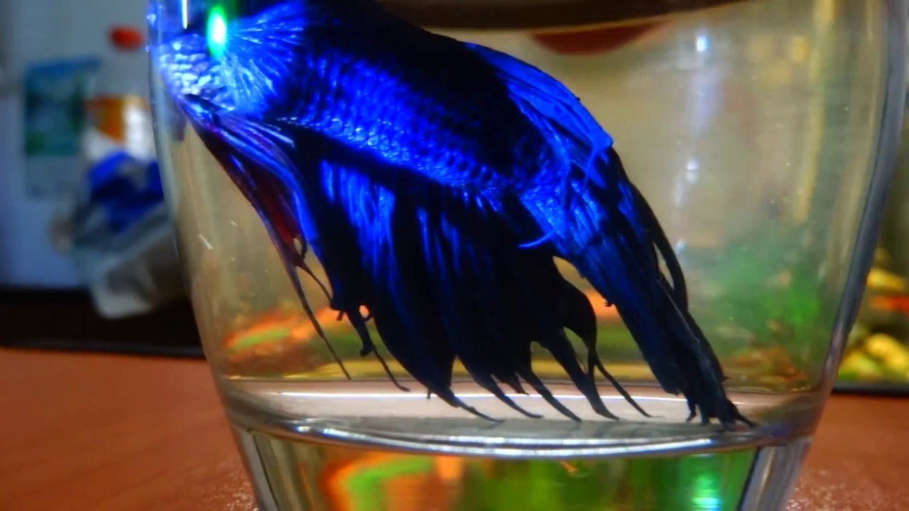 beautiful-fighter-fish-ideas-about-Betta-Fish-beautiful-fighter-fish-tank-how-to-make-wallpaper-wp3603107