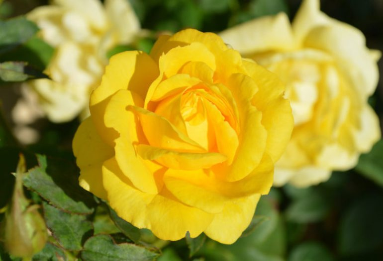 bfbff-colorful-flowers-rose-flowers-wallpaper-wp3801397