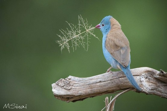 blue-capped-cordon-bleu-wallpaper-wpc9203136