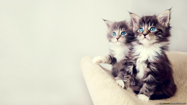 blue-white-cats-blue-eyes-animals-gray-sitting-kittens-chest-paws-furry-1920x1080-wallpaper-wp3803345