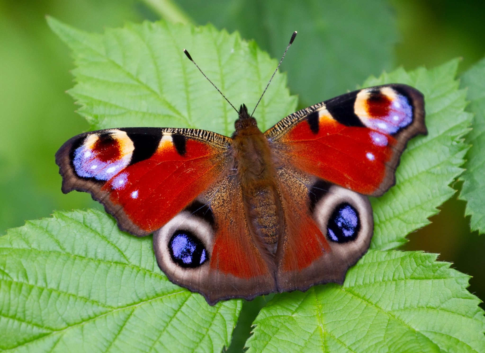 butterfly-hd-1080p-windows-wallpaper-wp3803524