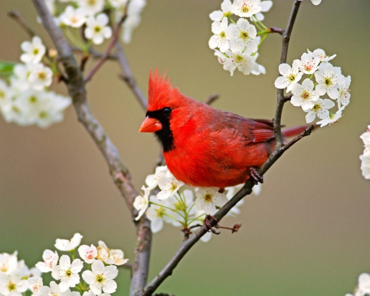cardinal-1080p-high-quality-by-Aston-Round-wallpaper-wp3803636