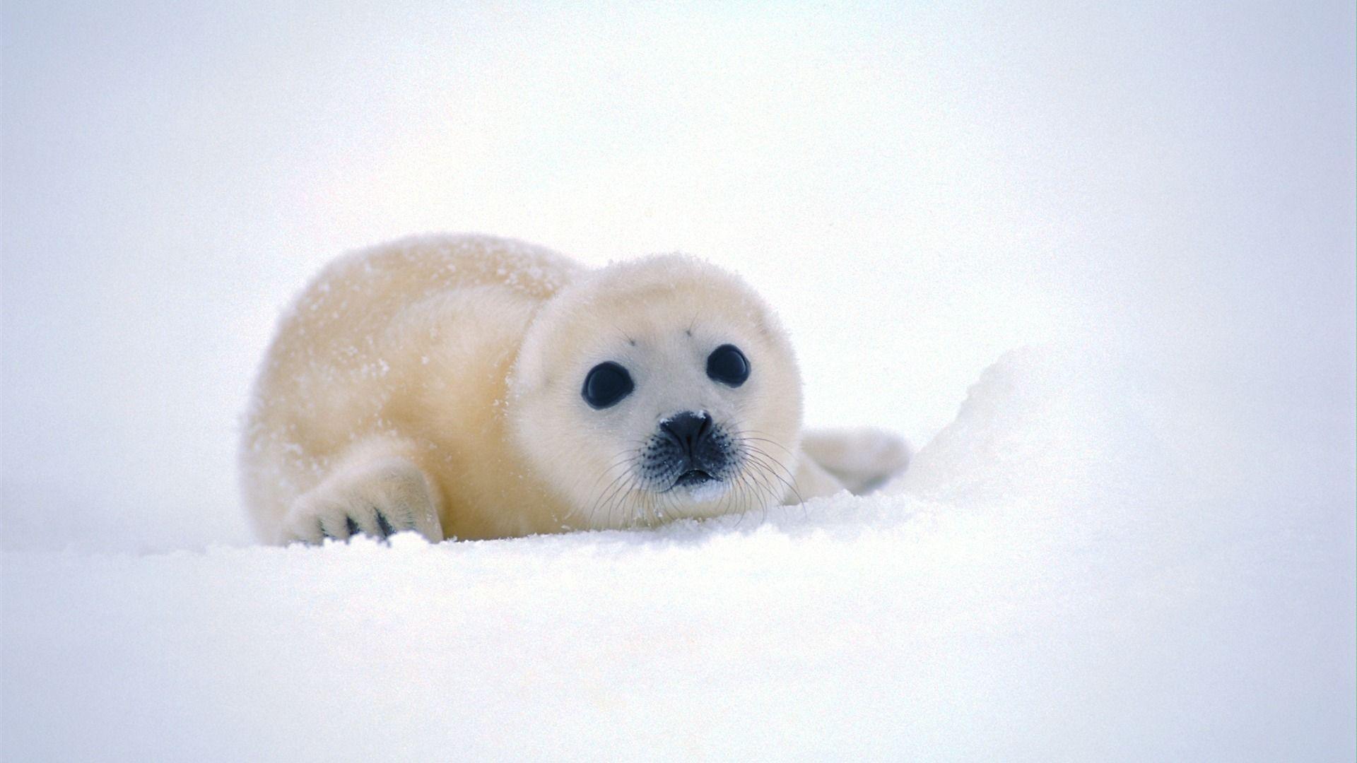 ccfaafbdedced-baby-seal-seals-wallpaper-wp3803544