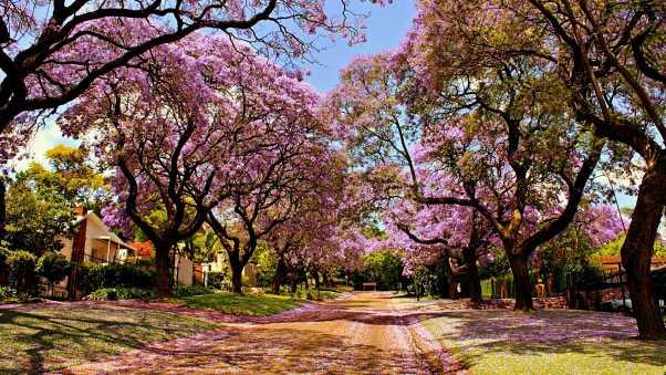 cherry-blossoms-wallpaper-wp3604031