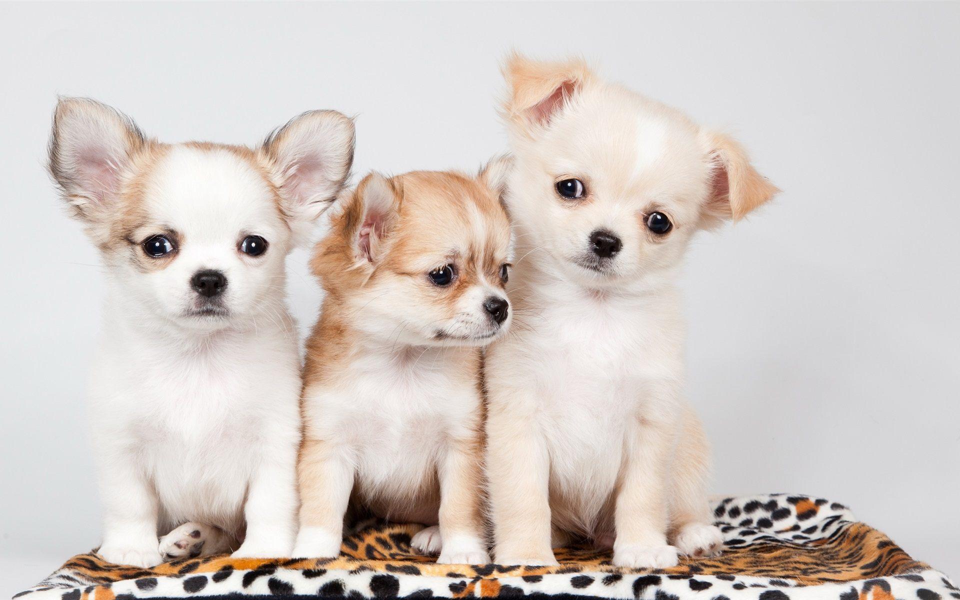 cute-puppies-wallpaper-wpc9003944