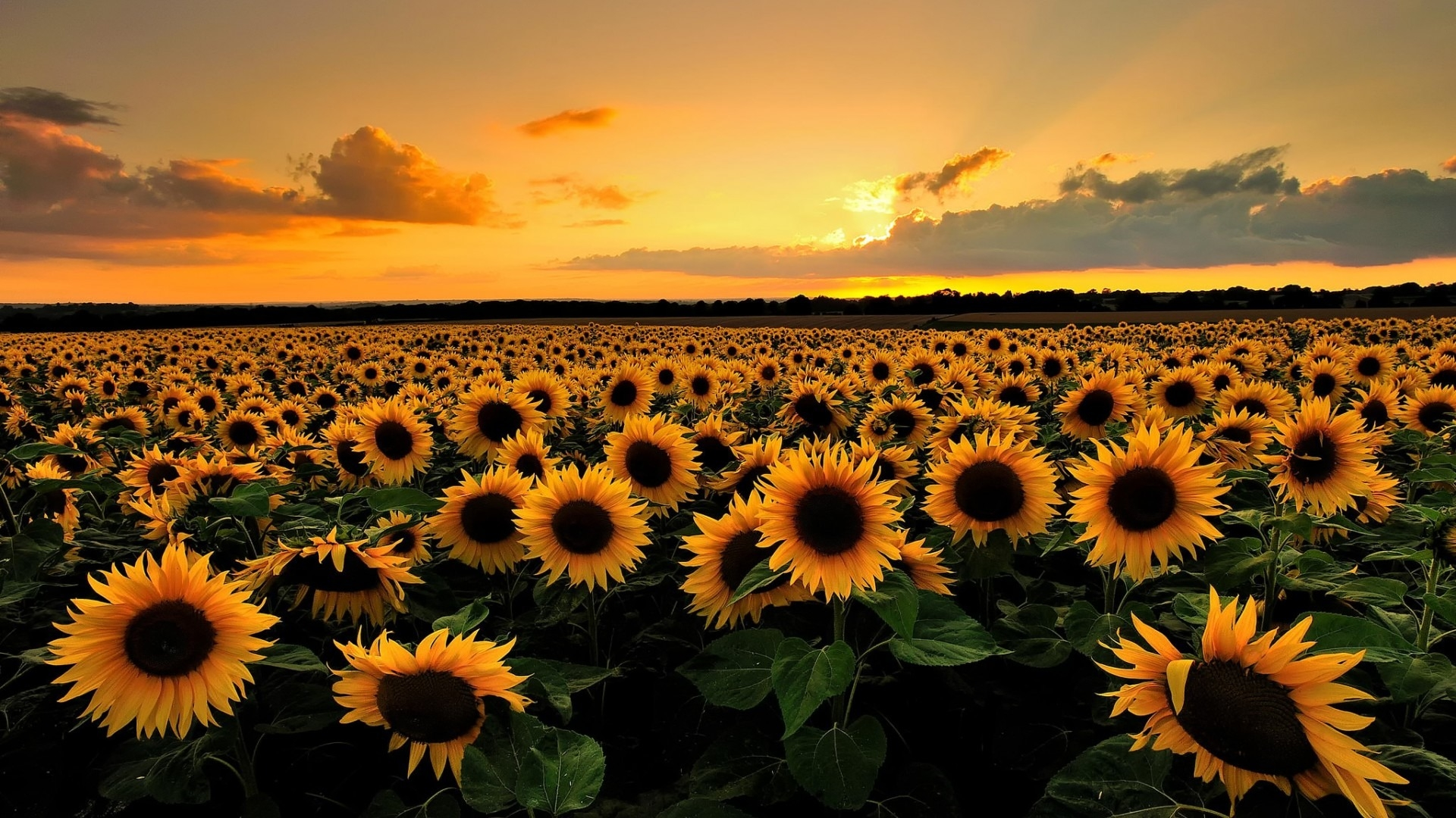 desktop-backgrounds-sunflowers-Download-Lovely-Sunflowers-Hd-Images-New-regarding-desk-wallpaper-wpc9004173