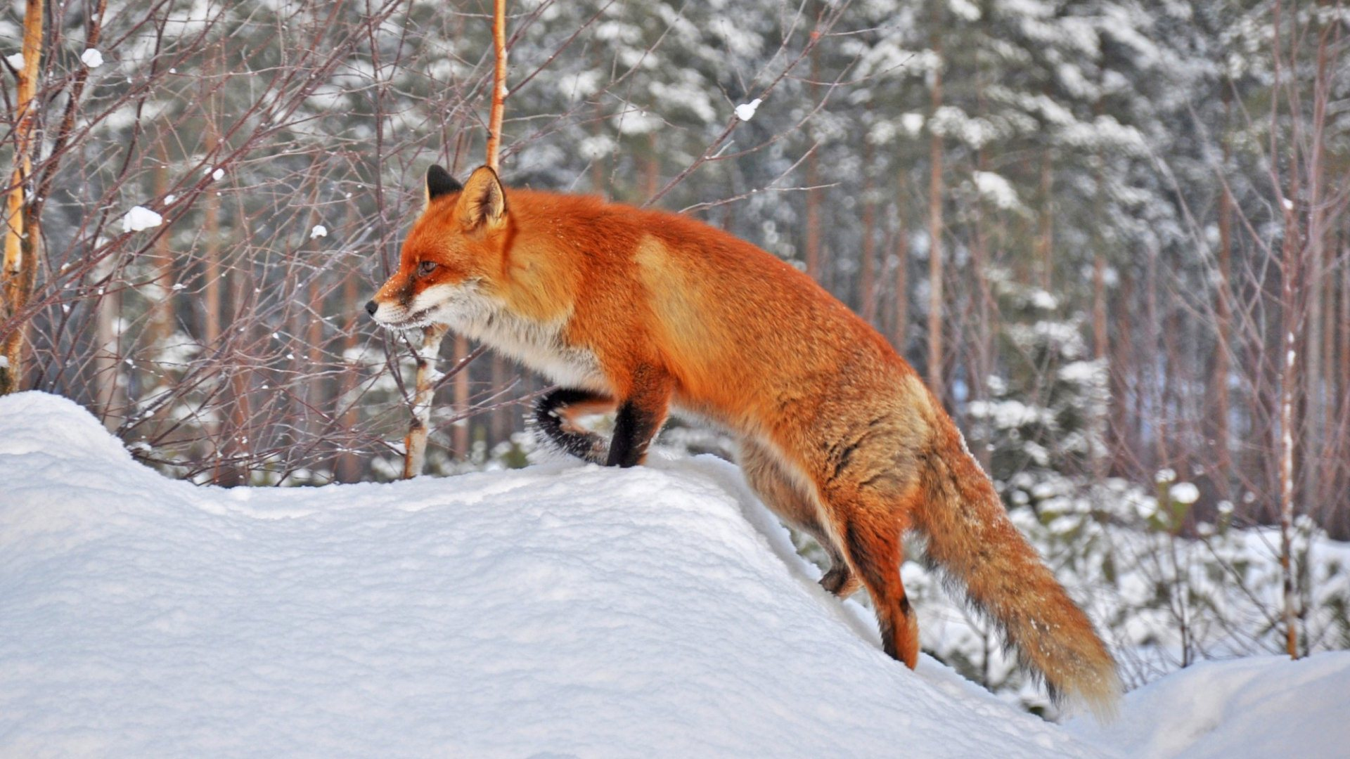 fox-in-snow-1920%C3%971080-wallpaper-wpc5804966